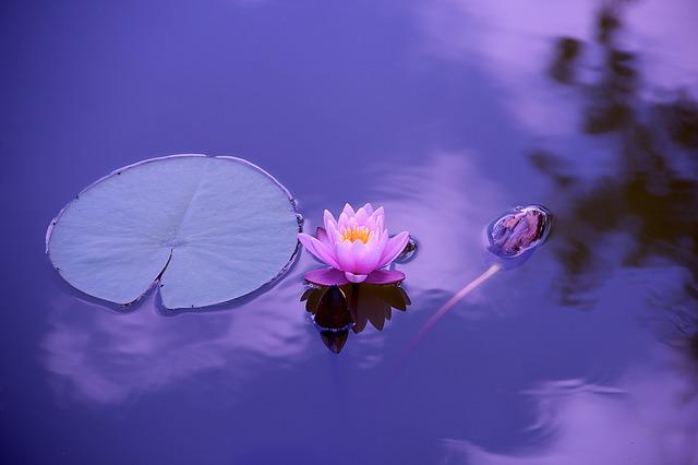 水面に浮かぶ一輪の蓮の花