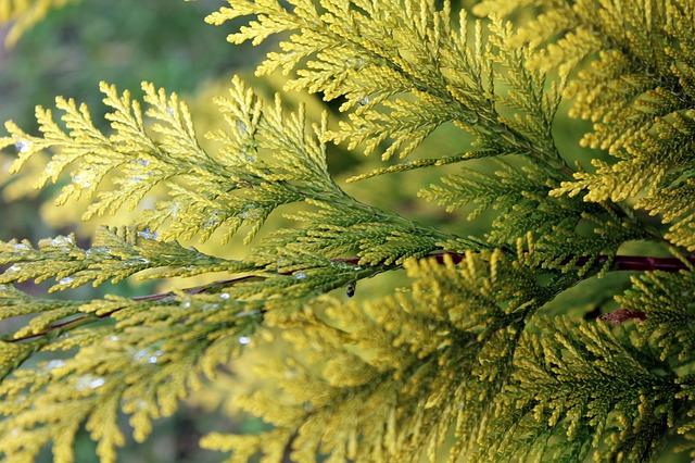 ヒノキ科の木